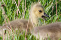 Canadian goose gosling resting in the grass Stock Photo