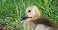 Canadian goose gosling this seems to be in a dreamy state Stock Photos
