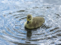 Canadian Goose Gosling Splashing about.