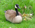 Canadian Goose and Goslings Royalty Free Stock Image