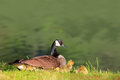Canadian Goose and Goslings Royalty Free Stock Photo