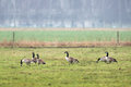 Canadian goose grazing on grass Royalty Free Stock Photo