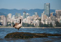 Canadian Goose Looking in Front of Vancouver Stock Image