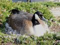 Canadian Goose nesting female laying in a nest of urban bushes surrounded by feather down in Indianapolis White River State Park I Royalty Free Stock Photo