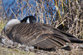 Canadian goose nesting sitting on nest beside pond Stock Images