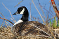 Canadian goose nesting sitting on nest beside pond Royalty Free Stock Image