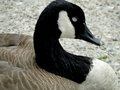 Canadian goose a rests in a boise city park Stock Photo