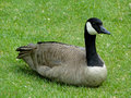 Canadian goose a rests in a boise city park Stock Images