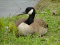 Canadian goose a rests beside a pond in a boise city park Royalty Free Stock Images