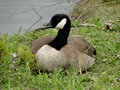Canadian goose a rests on a sunny day in the park Royalty Free Stock Photos