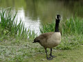 Canadian goose a strolls along a pond in a city park Royalty Free Stock Images