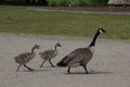 Canadian Goose walking its goslings Royalty Free Stock Photo