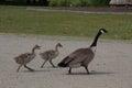 Canadian Goose Walking Its Gos...