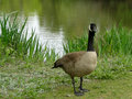 Canadian goose a walks beside a pond in a boise city park Stock Image