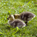 Canadian Goslings Stock Photography