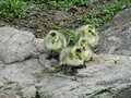 Canadian goslings prepare to leap into the pond below this rocky ledge Stock Photography