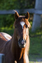 Canadian horse portrait pure bred in spring Royalty Free Stock Image