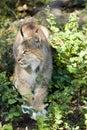 Canadian Lynx Royalty Free Stock Photo