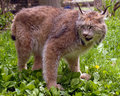 Canadian lynx Stock Photography