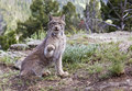 Canadian Lynx in mountains Royalty Free Stock Image