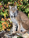 Canadian lynx sitting on a rock Royalty Free Stock Photos