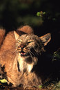 Canadian Lynx Snarling Royalty Free Stock Photos