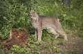Canadian Lynx striking a pose in front of large stump Royalty Free Stock Photo