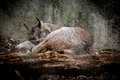 Canadian Lynx taking a nap Royalty Free Stock Photo