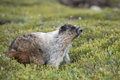 Canadian marmot portrait brown and white Stock Image