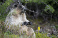 Canadian marmot portrait brown and white Stock Images
