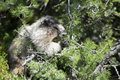 Canadian marmot portrait brown and white Royalty Free Stock Image