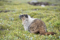Canadian marmot portrait brown and white Stock Photo