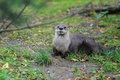 Canadian otter Royalty Free Stock Photo