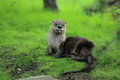 Canadian river otter Royalty Free Stock Photo