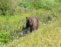 Canadian Rockies mama bear Royalty Free Stock Photo