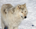Canadian/Rocky Mountain gray wolf Royalty Free Stock Photo