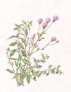 Canadian thistle and wild mint watercolor painting hand painted Royalty Free Stock Photo