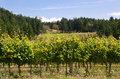 Canadian west coast vineyard Royalty Free Stock Photo