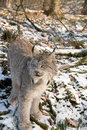 Canadien lynx Royalty Free Stock Photography