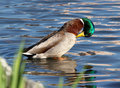 Canard de lavage Photo stock