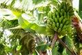 Canarian Banana plantation Platano in La Palma Stock Image