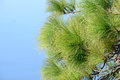 Canarian pinetree in front of the sky Stock Image