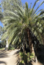 Canary Island Date Palm Stock Photos