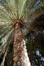 Canary Island Date Palm Tree Royalty Free Stock Image