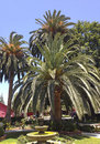 Canary island date palms beautiful at camarillo ranch california Royalty Free Stock Images