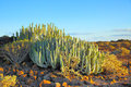 Canary Island spurge Royalty Free Stock Photo