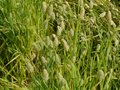 Canary seed a field with in the netherlands Royalty Free Stock Photos