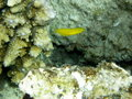 Canary Yellow Fang Blenny Fiji Royalty Free Stock Photo