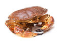 Cancer pagurus sea crab on white background fresh raw edible brown also known as Stock Image