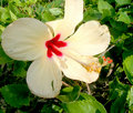 Cancun Lily Royalty Free Stock Photo